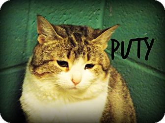 Domestic Shorthair Cat for adoption in Defiance, Ohio - Puty