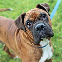 Boxer Dog for adoption in Alameda, California - Cory