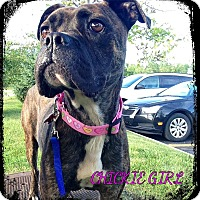 Adopt A Pet :: Chickie Girl - Fenton, MI