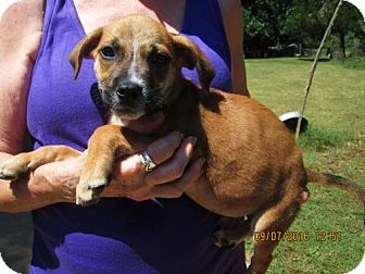 Wirehaired Pointing Griffon/Labrador Retriever Mix Puppy for adoption in Lincolndale, New York - FONZIE
