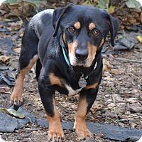 Adopt A Pet :: Lightning - Simi Valley, CA