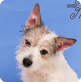 Westie, West Highland White Terrier/Terrier (Unknown Type, Small) Mix Dog for adoption in Cincinnati, Ohio - Elle - pending