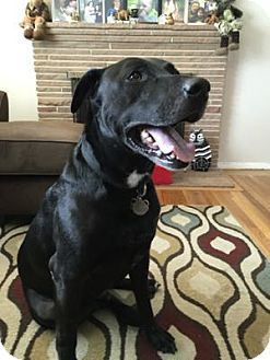Labrador Retriever Mix Dog for adoption in San Francisco, California - Sam