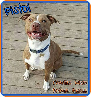 Pit Bull Terrier Mix Dog for adoption in Pataskala, Ohio - Pistol