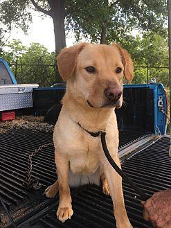Labrador Retriever Mix Dog for adoption in Jackson, Mississippi - bravo