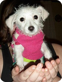Terrier (Unknown Type, Small) Mix Puppy for adoption in Tacoma, Washington - Cupid