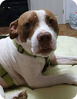Pit Bull Terrier Mix Dog for adoption in St Louis, Missouri - GEORGIE