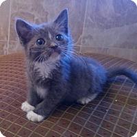 Adopt A Pet :: Bullet - Herndon, VA