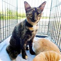 Adopt A Pet :: MAYA - Andover, CT