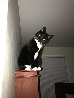Domestic Mediumhair Cat for adoption in Sweet Briar, Virginia - Binx