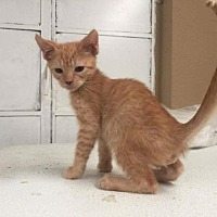 Adopt A Pet :: Izaya - Glendale, AZ