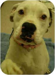 Boxer Dog for adoption in San Clemente, California - TEASPOON