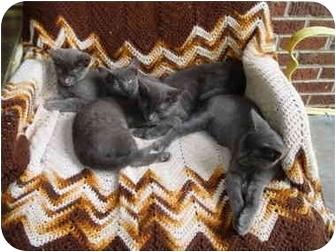 Russian Blue Kitten for adoption in North Wilkesboro, North Carolina - Pete