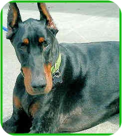 Doberman Pinscher Dog for adoption in Los Angeles, California - Vladimir