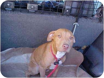Pit Bull Terrier/Pit Bull Terrier Mix Puppy for adoption in Los Angeles, California - Athena