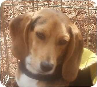 Beagle Dog for adoption in Freeport, Maine - Calvin