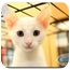 Photo 1 - Domestic Shorthair Kitten for adoption in Yorba Linda, California - Romeo