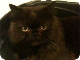 Persian Cat for adoption in Beverly Hills, California - Shadow