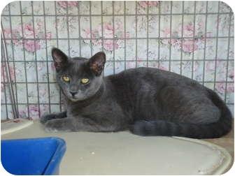 Domestic Shorthair Cat for adoption in Turlock, California - 1010-1124