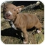 Photo 2 - Pit Bull Terrier Mix Puppy for adoption in Spruce Pine, North Carolina - Samantha