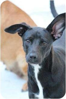 Labrador Retriever Mix Puppy for adoption in Boynton Beach, Florida - Laney