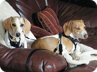 Dachshund Mix Dog for adoption in Beavercreek, Ohio - COWBOY AND WHITEY