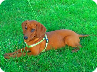Dachshund/Basenji Mix Puppy for adoption in Xenia, Ohio - Dolly *PENDING