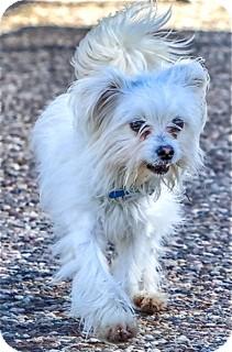 Maltese Mix Dog for adoption in Norwalk, Connecticut - Rhett - adoption pending
