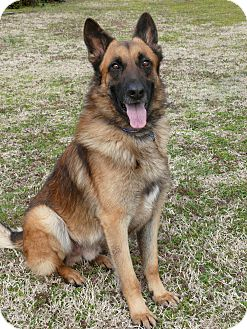 German Shepherd Dog Dog for adoption in Nashville, Tennessee - Guido