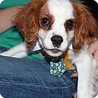 Adopt A Pet :: Sir Lance a lot - batlett, IL