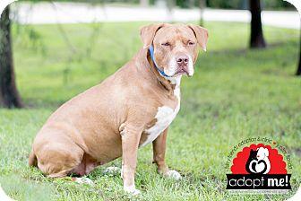 Pit Bull Terrier Mix Dog for adoption in Jupiter, Florida - Princess
