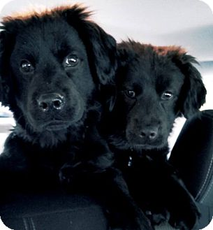 Newfoundland/Labrador Retriever Mix Puppy for adoption in New Jersey, New Jersey - Hightstown NJ - Abby