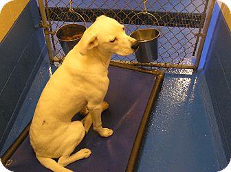 Labrador Retriever Mix Dog for adoption in Delta, Colorado - Sampson