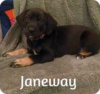 Labrador Retriever/German Shepherd Dog Mix Puppy for adoption in Chattanooga, Tennessee - Janeway