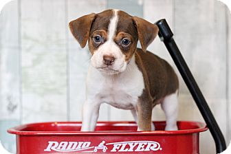 Jack Russell Terrier Mix Puppy for adoption in Waldorf, Maryland - Nugget