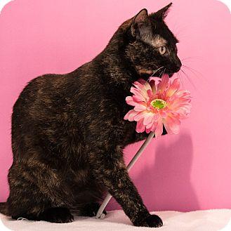 Domestic Shorthair Cat for adoption in Houston, Texas - Cholula