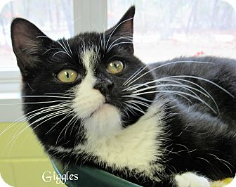 Domestic Shorthair Cat for adoption in Jackson, New Jersey - Giggles