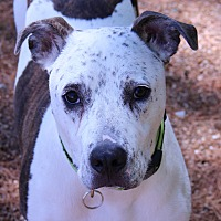 Adopt A Pet :: Champ - O Fallon, IL