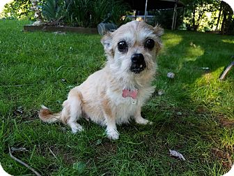 Terrier (Unknown Type, Small) Mix Dog for adoption in Burlington, Vermont - Goldie