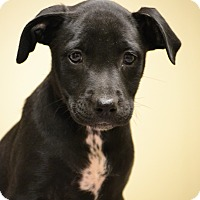 Adopt A Pet :: Emlyn - Hagerstown, MD