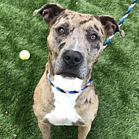 Adopt A Pet :: Zeus - raytown, MO