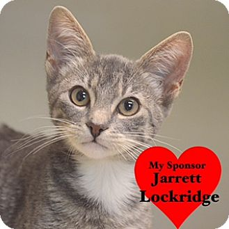 Domestic Shorthair Kitten for adoption in San Leon, Texas - Bowie