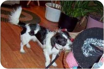 Shih Tzu/Dachshund Mix Dog for adoption in Kokomo, Indiana - Gizmo
