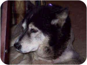 Alaskan Malamute Dog for adoption in Wilmington, North Carolina - LADY