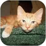Domestic Shorthair Kitten for adoption in Long Beach, New York - Sal