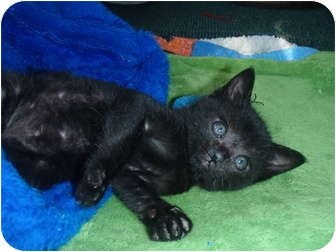 Domestic Shorthair Kitten for adoption in Manalapan, New Jersey - Taylor