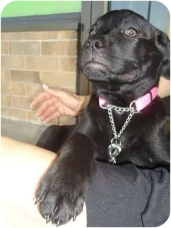 Labrador Retriever Mix Puppy for adoption in Plano, Texas - Malaki