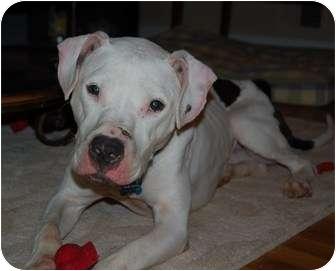 American Bulldog/American Pit Bull Terrier Mix Dog for adoption in Raritan, New Jersey - Blake