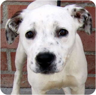 American Pit Bull Terrier Mix Puppy for adoption in Los Angeles, California - Daisy *VIDEO*