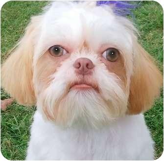Shih Tzu Dog for adoption in Wakefield, Rhode Island - QUEEN ELIZABETH*IN NE*
